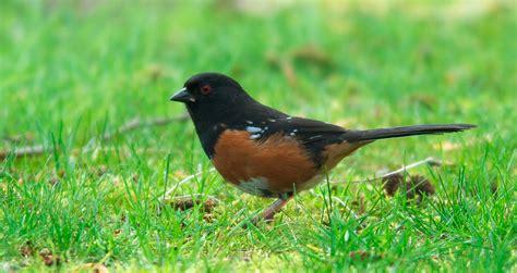 nw bird blog rufous sided towhee