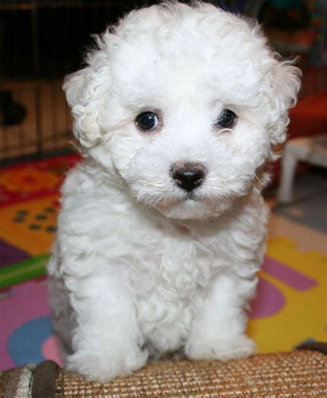 25 best ideas about small hypoallergenic dogs on