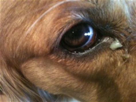 dog eye discharge  treatments home remedies pictures