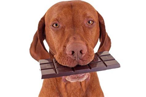 dog ate chocolate      dog eats chocolate