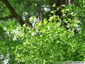 Arbre à Croissance Rapide Pour Ombre : arbre aux 40 cus ginkgo biloba planter cultiver ~ Premium-room.com Idées de Décoration
