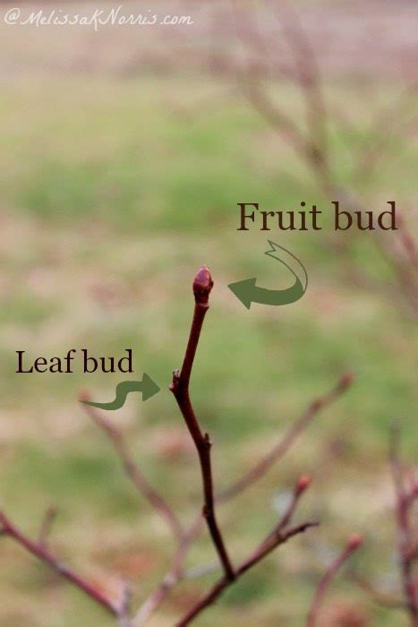 buds tree care how to prune blueberries for a larger harvest melissa k norris