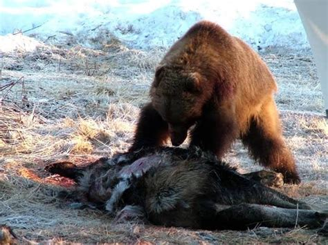 bear moose kills kill driveway grizzly wolf alaska dog animal dead homer lion another 2007 tales little cattle mutilation ground