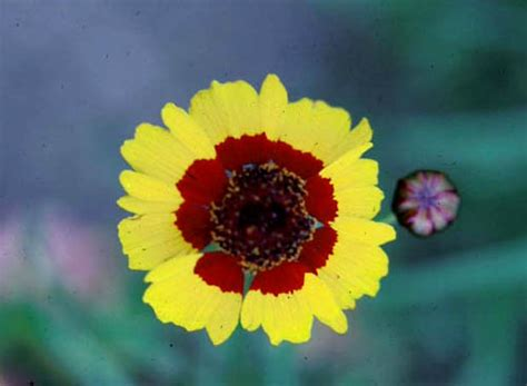 coreopsis mardi gras tickseed in the garden d oh i y