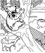 Koala Coloring Bear Animals Animal Kb sketch template