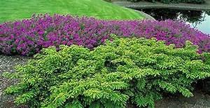 Taxus cusp. 'Monloo' (Emerald Spreader) - The Site Gardener