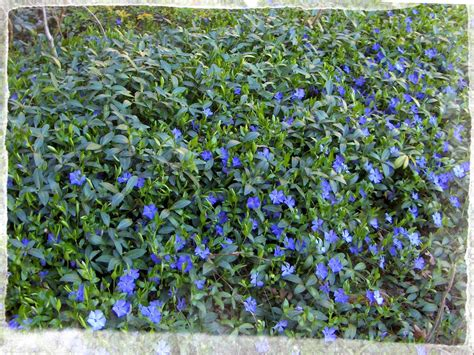 blue flower ground cover plants busy bee ground cover that never fails