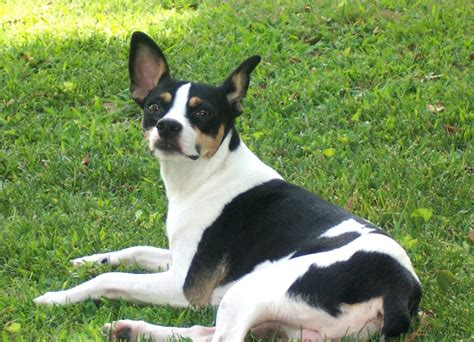 rat terrier shedding rat terrier info temperament care puppies pictures