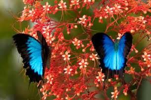 butterfly flower オオルリアゲハ 突然変異だけじゃない ありえないほど青い生物たち naver まとめ