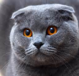 scottish fold cat the scottish fold cat cat breeds catloversdiary
