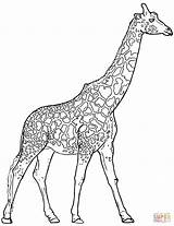 Coloring Giraffe Realistic Pages Animals sketch template