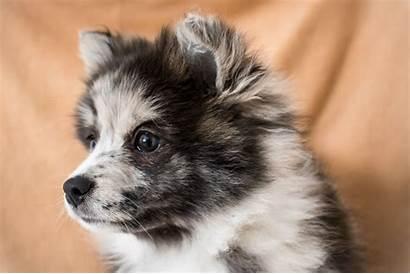 Puppies Husky Pomeranian Puppy Paradise Pomsky Mix
