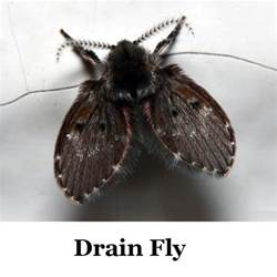 Drain Flies In My Bathroom by Identifying Flying Insects Thriftyfun