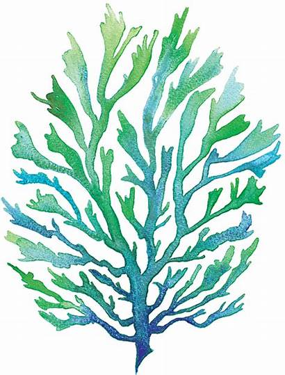 Seaweed Clipart Coral Transparent Watercolor Cartoon Pioneering