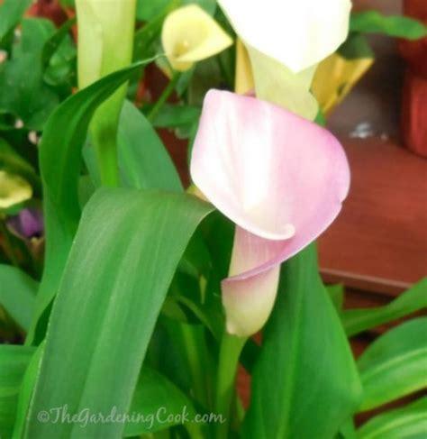 growing calla lilies indoors dscn0906 the gardening cook