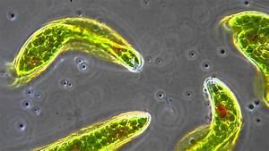 Euglena - Flagellum Movement In Phase Contrast