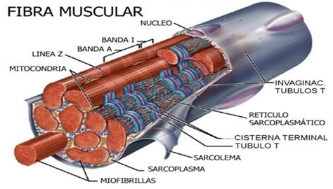 Cresterea rapida a masei musculare