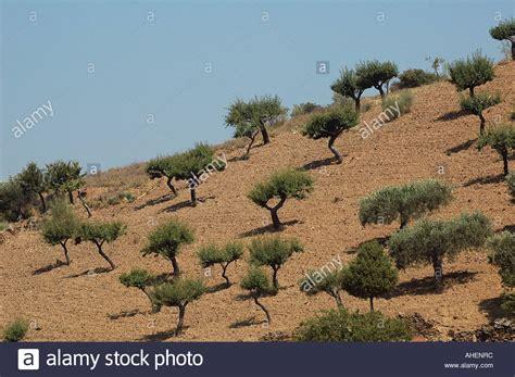 hillside slope olive tree plantation on hillside slope near almeida northern stock photo 8258107 alamy