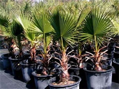 palmier r 233 sistant au froid les principaux palmiers rustiques