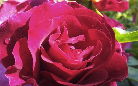 most fragrant roses australia one love modern shrub rose producing the most highly fragrant blooms on a very disease