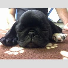 Sleeping Black Pug Puppy Cute Pictures Pinterest