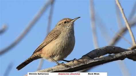 rock wren song call voice sound