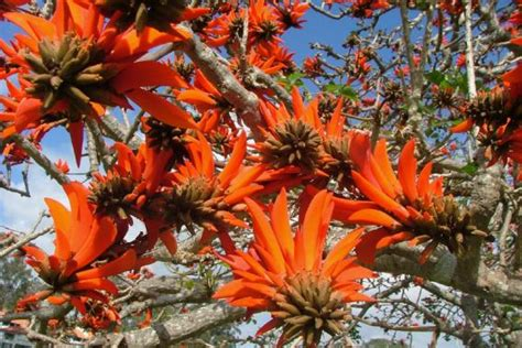 common coral tree | Weed Identification – Brisbane City ...