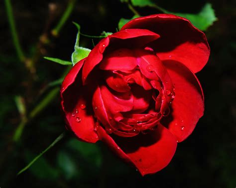 Red Rose Photography · Free Stock Photo