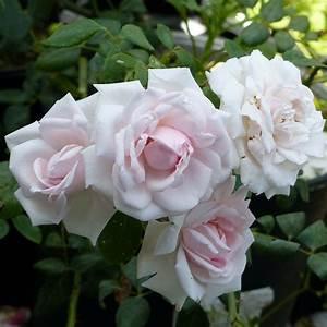 Rosier Grimpant Remontant : rosier new dawn rosier grimpant vigoureux remontant ~ Melissatoandfro.com Idées de Décoration