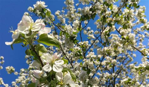flowering trees northeast professional tree service company in cleveland ohio