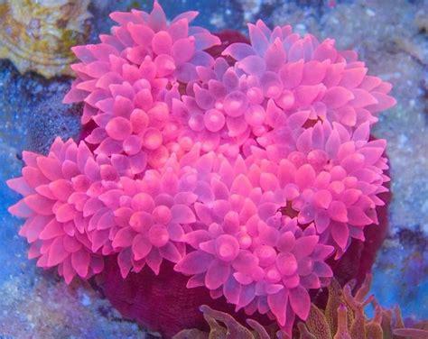 anemone reproduction bubble tip anemone entacmaea quadricolor care tank