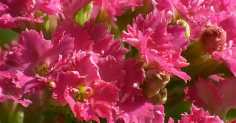 kalanchoe poisonous to cats is kalanchoe poisonous to cats ehow uk