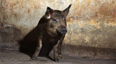 Alternative svin vinder forbrugernes gunst - Teknologisk ...
