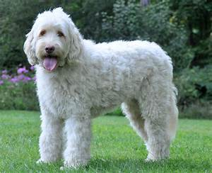 Elegant Large Dog Breeds That Don T Shed Dog Breeds ...