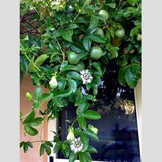 Grow Food Slow Food  Climbing Plants  Greening Vertical