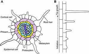 The Regulation And Plasticity Of Root Hair Patterning And Morphogenesis