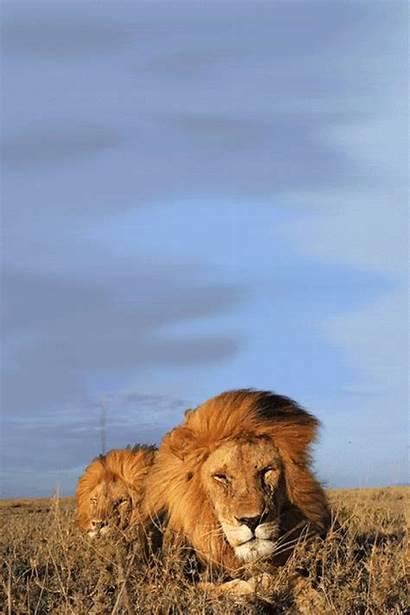 Lion Gifs Animated Spirit Animal Yodiscrepo Animation