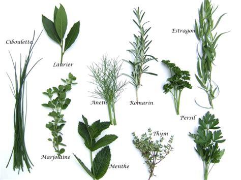 sauge en cuisine le guide des plantes aromatiques aneth angélique
