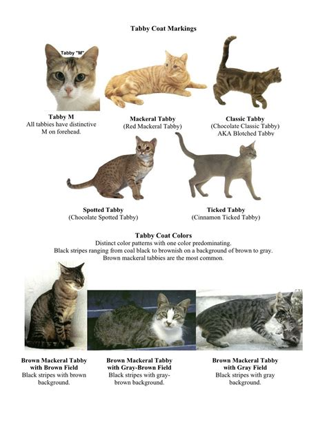 home design bbrainz tabby cat colors 28 images what are tabby cats facts