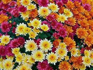 Herbstblumen Garten Winterhart : herbstblumen die herbstblume ~ Frokenaadalensverden.com Haus und Dekorationen