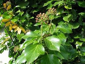 Efeu Sorten Winterhart : florilegium der pflanzen efeu hedera helix ~ A.2002-acura-tl-radio.info Haus und Dekorationen