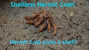 Related Keywords & Suggestions for hermit crab without shell
