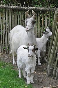 Girgentana Goat | Flickr - Photo Sharing!