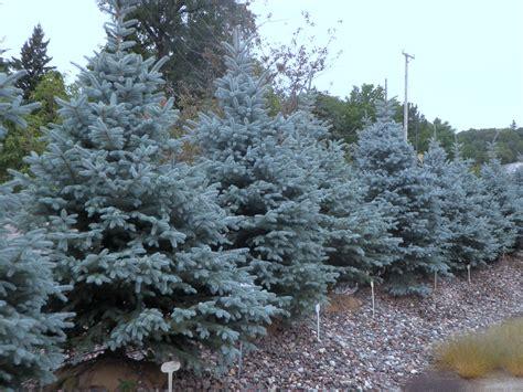 blue spruce fat albert blue spruce archives knecht s nurseries landscaping