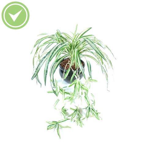 plante verte retombante interieur