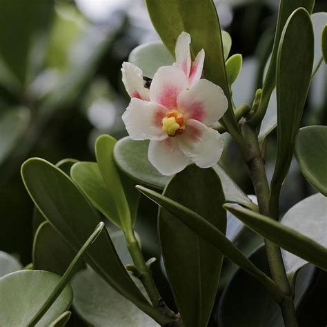 growing  autograph tree clusia rosea indoors