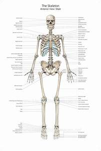 Full Size Skeleton Anterior View With Labelling  U2013 Medical