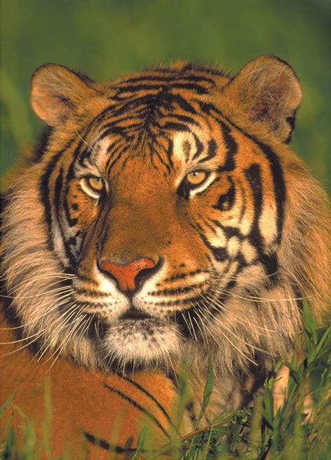 wildlife mini tiger puzzle warehouse puzzles jigsaw safari pieces