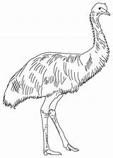 Emu Coloring Pages Australian Animals Birds Outback Baby Printable Template Line Australia Sunday Feathered Soft Templates Cute Sketch Birthday Bestcoloringpages sketch template