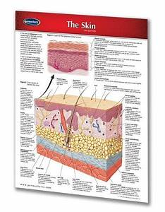 The Skin Study Guide